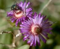 Ruschia caroli with bee