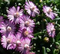 Ruschia lineolata