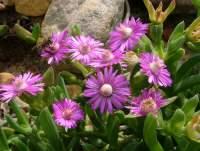 Ruschia langebaanensis