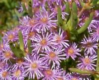 Ruschia viridifolia