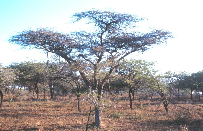 Acacia Savanna Mkuze Reserve