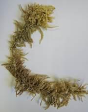 Sphagnum pycnocladulum