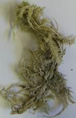 Sphagnum strictum subsp. pappeanum