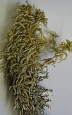 Sphagnum truncatum