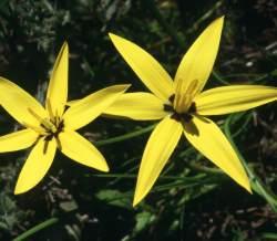 S. capensis.  Photo C. Paterson-Jones