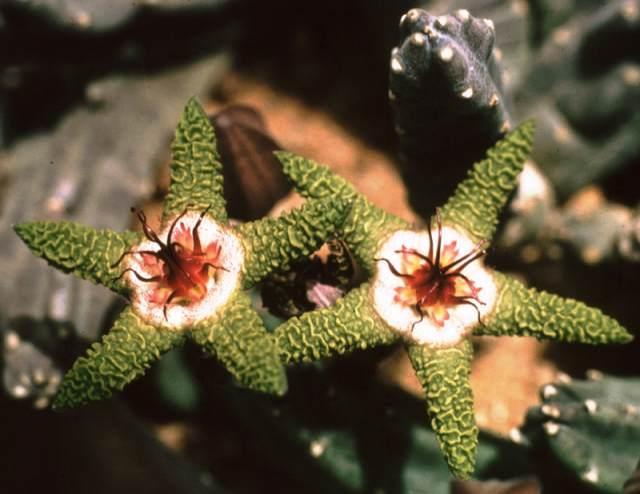 S. flavopurpurea