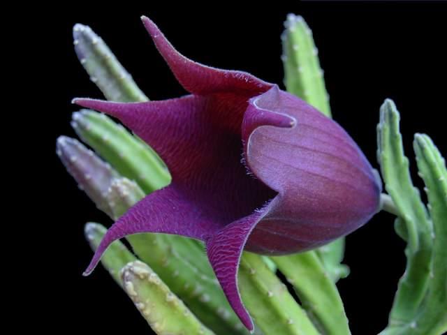 S. leendertziae