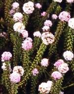 S.cyathuloides