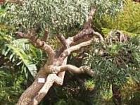 Mature Cussonia paniculata