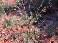 Cynoglossum hispidum