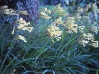 Ifafa lilies