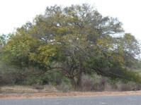 Dialium schlechteri tree