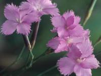Dianthus zeyheri flowers.  Image Martin von Fintel