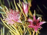 Diastella buekii in flower
