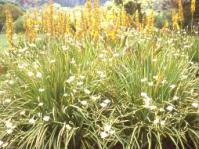 Dietes bicolor in the foreground
