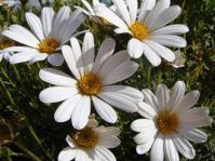 Dimorphotheca cuneata white variety