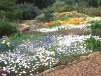 Spring annuals at Kirstenbosch
