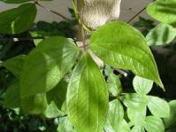 Trifoliate leaves. Photo Geoff Nichols
