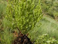 Dioscorea strydomiana (Mervyn Lotter)