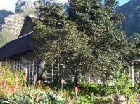 Diospyros whyteana at Kirstenbosch