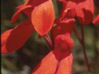 Disa cardinalis