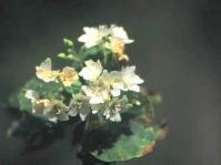 Dombeya autumnalis