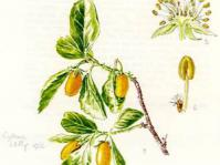 Cythna Letty illustration in Flowering Plants of Africa.