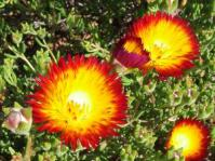 Drosanthemum bicolor blooms