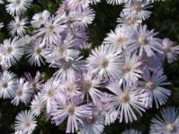 Drosanthemum striatum flowers
