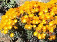 Drosanthemum thudichumii  shrublet