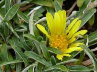 Dymondia margaretae foliage