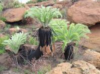 Encephalartos lanatus