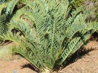 Encephalartos trispinosus