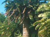 Encephalartos woodii at Kirstenbosch