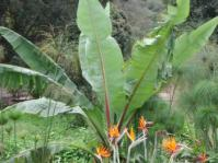 Ensete ventricosum with Strelitzia in foreground