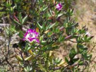Erepsia pillansii shrublet