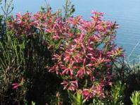 Erica abietina subsp. atrorosea growing above Kalk Bay