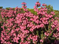 Erica baccans shrub