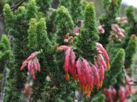 Erica coccinea subsp. coccinea