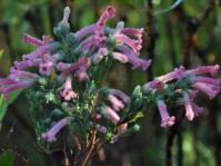 Erica curviflora var. curviflora