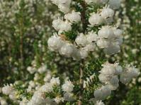 Erica formosa flowers