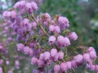 Erica hirtiflora flowers
