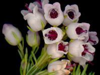Erica margaritacea flowers