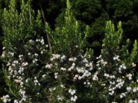 Erica triflora shrub