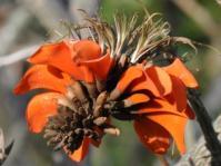 Erythrina caffra (Alice Notten)