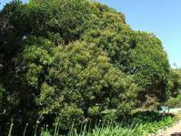 Euclea natalensis tree