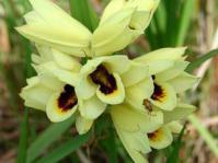 Eulophia welwitschii inflorescence
