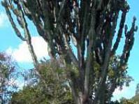 E. ingens tree