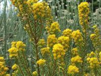 Euryops annae shrub