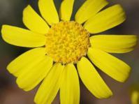 Euryops annuus flower